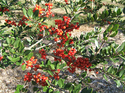 Red berries of the Dodds Cranberry yaupon holly
