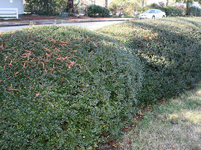 Dwarf yaupon holly hedge