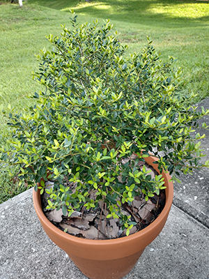 Yaupon Holly Gardening Solutions University Of Florida Institute Of Food And Agricultural Sciences
