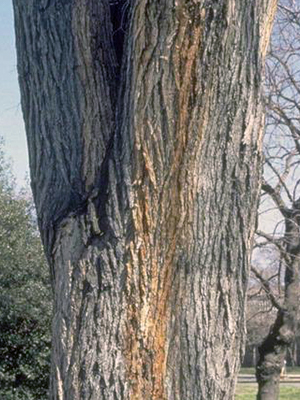 Closeup of tree with two dominant trunks, forming a V shape