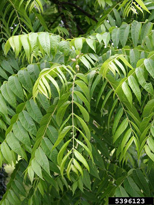 The light green foliage of the tree has a weeping effect