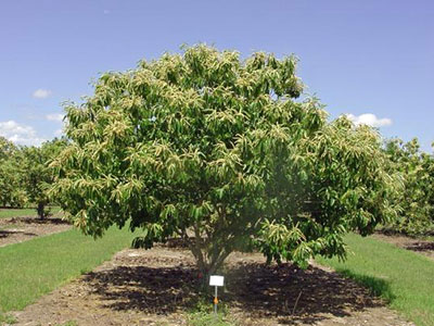 Chestnut tree in orchard