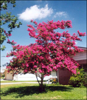 Crapemyrtle tree in full bloom with pink flowers