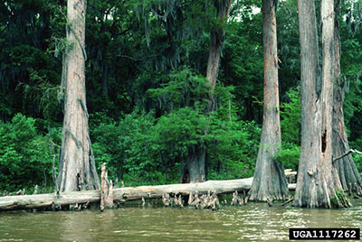 Bald cypress by water