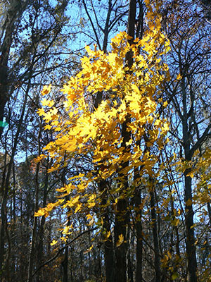 The brilliant yellow foliage of the Florida maple