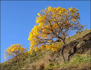 Two golden trumpet trees on a hillside