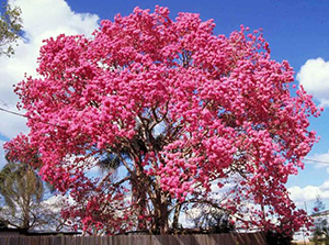 Trumpet trees gardening solutions university of florida trumpet trees handroanthus heptaphyllus handroanthus heptaphyllus one of several commonly called pink trumpet tree mightylinksfo
