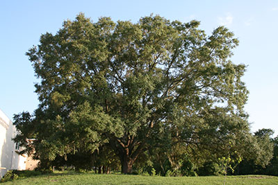 Native trees gardening solutions university of florida native florida trees mightylinksfo