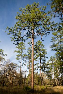 Very tall pine tree