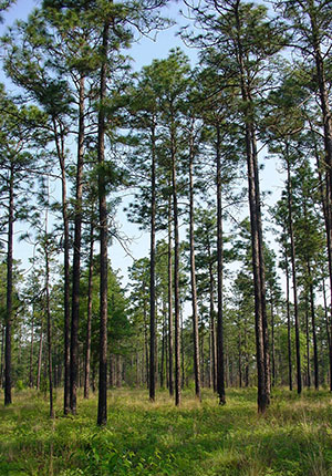 A stand of longleaf pines
