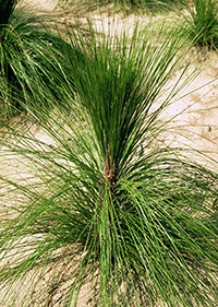 Small pine tree resembles a grassy plant