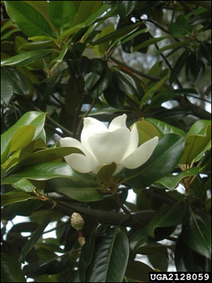 Southern Magnolia Gardening Solutions University Of