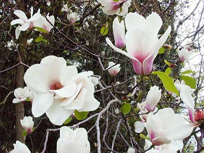 Magnolias University Of Florida Institute Of Food And
