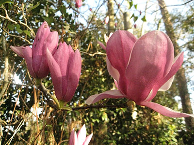 Saucer Magnolia University Of Florida Institute Of Food And