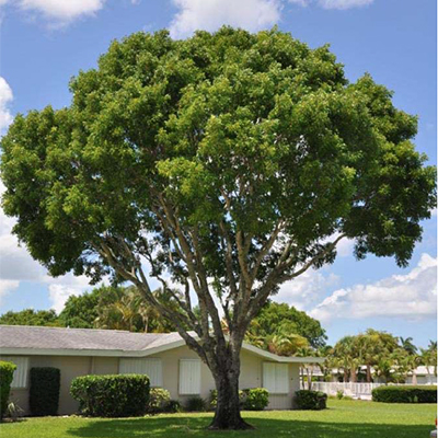 Large tree with rounded canopy that grows high over a suburban house.