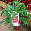 Small Norfolk Island pine in festive pot for sale in grocery store