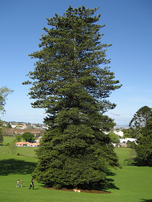 A mature Norfolk pine in New Zealand that's so big it makes the people next to it look like ants