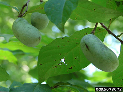 Pawpaw Fruit And Foliage