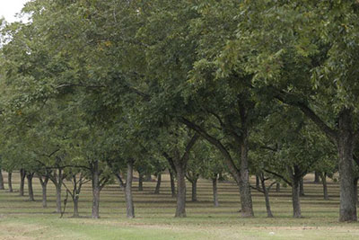 A grove of pecan trees