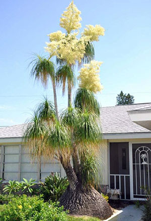 Tree Sized Ponytail Plant Outside A Home In South Florida