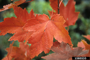 The orange-red leaf of a red maple tree