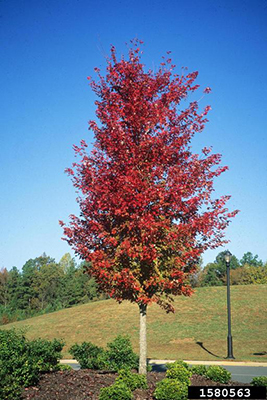 Maple Trees For Florida University Of Florida Institute Of Food