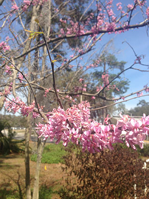 Redbud branch with pink flowers