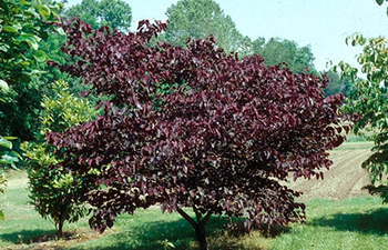 A small tree covered in deep burgundy leaves