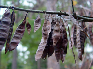 Flat dark brown seed pods hanging on branch