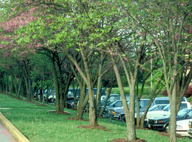 Redbud trees planted in parking lot island