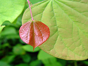 A small immature red leaf against a larger light green leaf