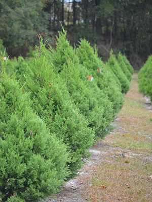 A row of red cedars at Unicorn Hill Christmas tree farm in Gainesville
