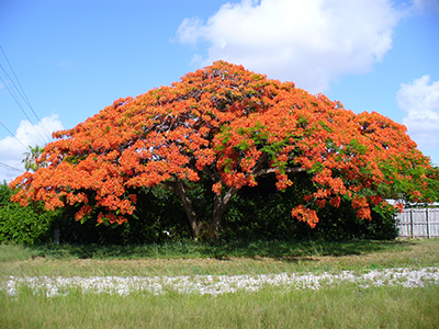 Royal poinciana tree in full bloom