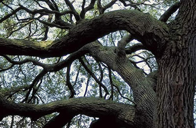 Branches of sand live oak