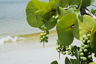 Partial image of plant with light green round leaves and clusters of light green grape-like fruits with waves and beach sand in the background