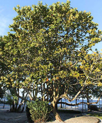 A very large seagrape tree on a sunny beachside lawn.