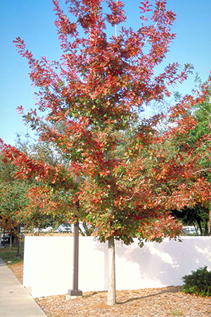 Small Shumard oak in fall with red leaves