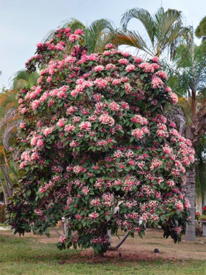 A large starburst clerodendrum tree in full bloom
