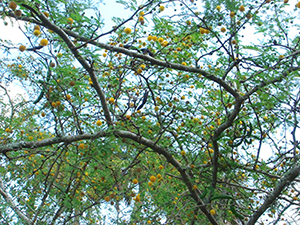 The view of sweet acacia branches and round puffball flowers as seen from under the canopy