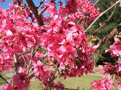 Taiwan Cherry Covered In Hot Pink Flowers