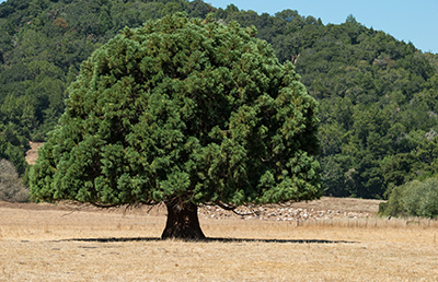 A large tree in drought-stricken grassland in California, 2015. USDA photo by Lance Cheung.