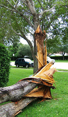 A mahogany tree with significant damage