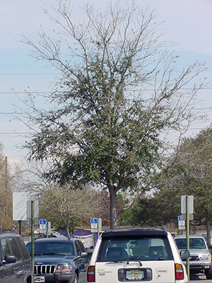 dying tree in parking lot surrounded by cars