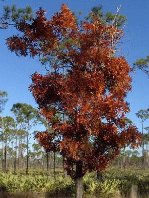 Turkey Oak Gardening Solutions University Of Florida