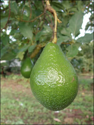 Avocado Gardening Solutions University Of Florida