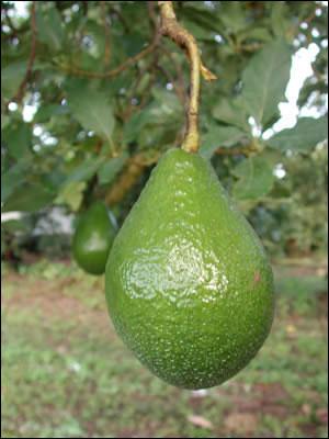 ea8a3e7bb684d Avocado - Gardening Solutions - University of Florida