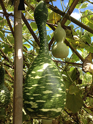 GARDENING: Growing Lagenaria (Bottle) Gourds
