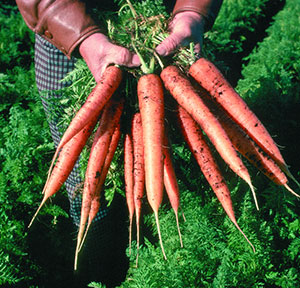 Carrots being held by man in field