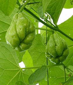 Chayote Gardening Solutions University Of Florida Institute Of