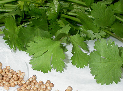 cilantro leaves and seeds